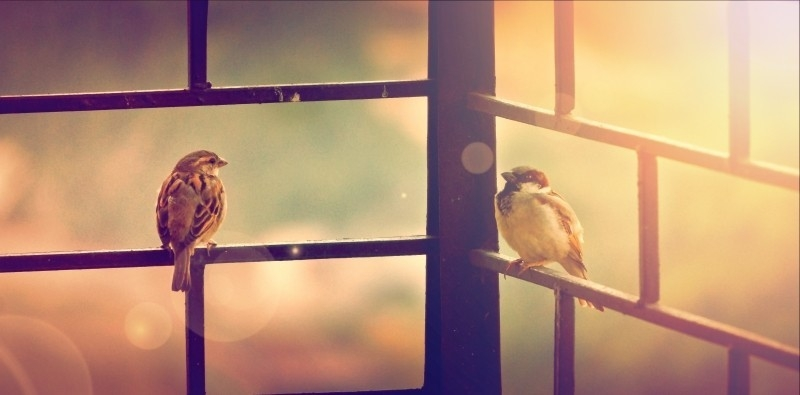 sparrows-on-fence