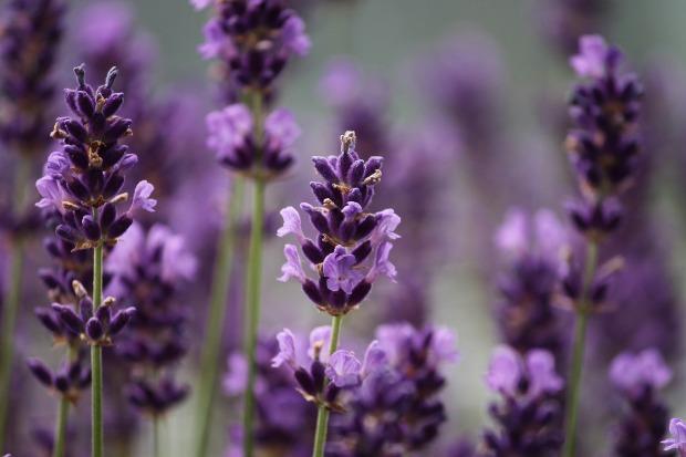 lavender-3479492_1920